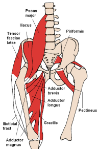 Anterior hip muscles
